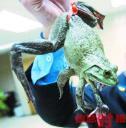 Китайский ресторан завлекает посетителей лягушкой-мутантом.