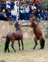 Китай: Лошадинные бои (фото). Китайские бойцовские лошади