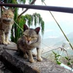 Суровые коты Женского Монастыря в Юньнане