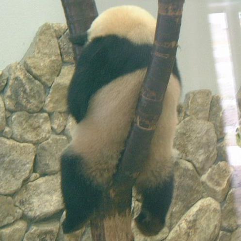 熊猫 недоумевает! / Кошки в Китае / Магазета