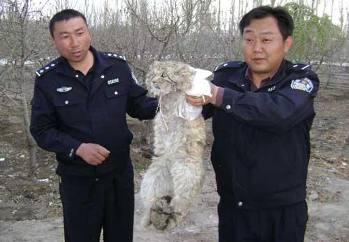 兔狲 tusun - манул по-китайски