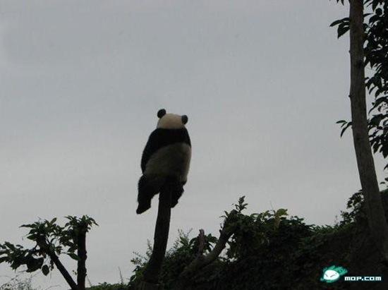 Панда одиночества / Китайские интернет-мемы в Магазете