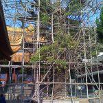1000-летнее дерево на реставрации