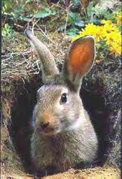 Заяц-рудокоп, вылезает из шахты