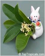 Изображения османтуса душистого, по представлениям многих китайцев связанного с Лунным Нефритовым зайцем.