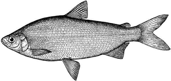 Речная рыба №1