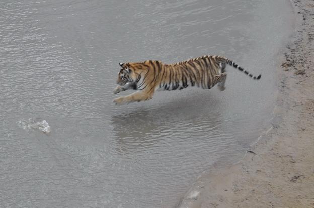 Утка против тигров - Магазета