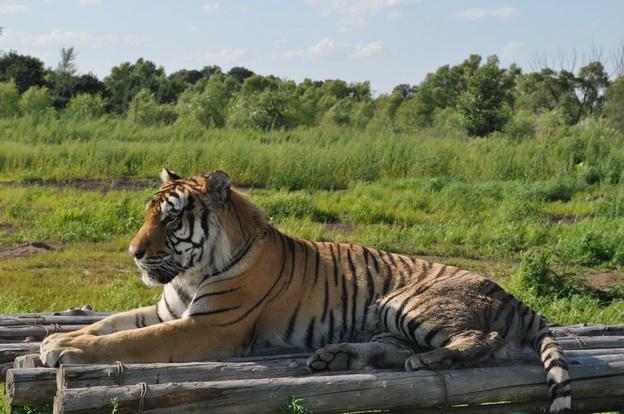 Утка против тигров