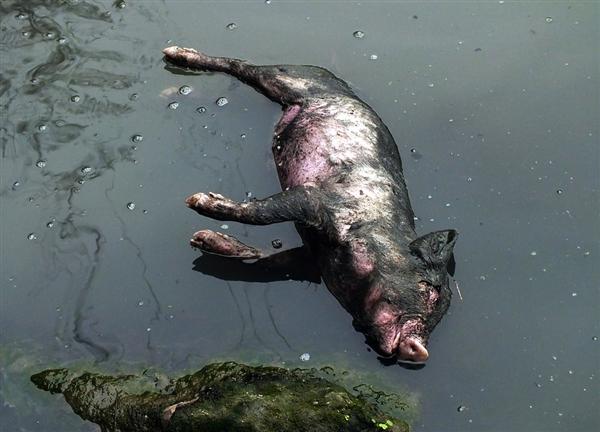 Количество выловленных свиней в шанхайской реке приблизилось к 15 тысячам