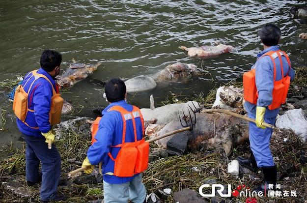 В китайской реке вновь обнаружили сотню свиных туш