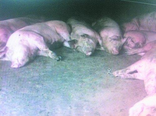 В китайской деревне за ночь умерло 238 свиней и 89 собак