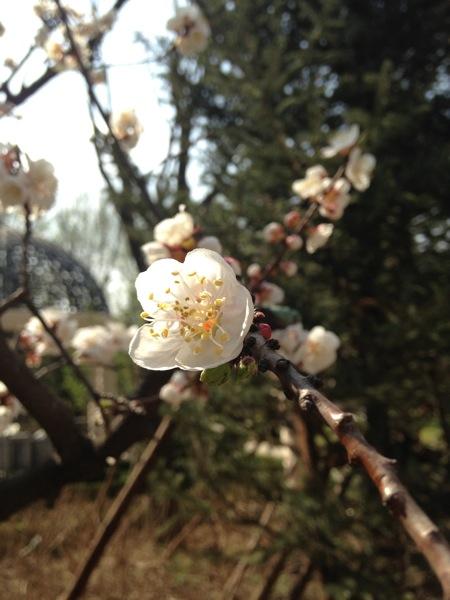 Нежный цветок муме - олицетворение упорства?