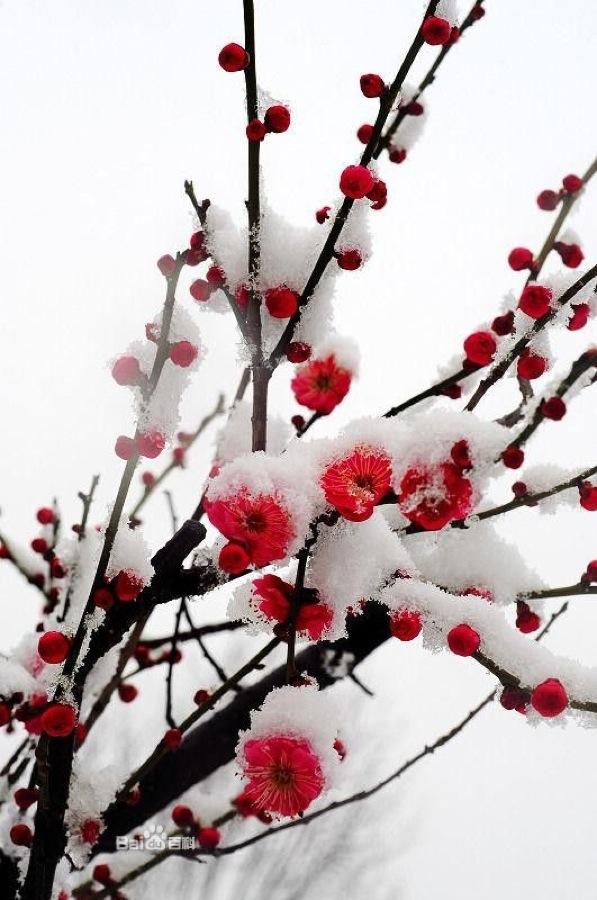 Цветы сливы в снегу - это ли не упорство?
