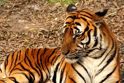 Шанхайском зоопарке редкий тигр задрал смотрителя