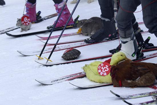 Черепаха победила кролика на горнолыжных соревнованиях в Китае