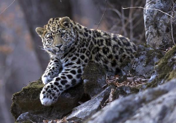 Китайский браконьер убил одного из последних дальневосточных леопардов