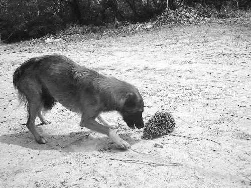 Собака кусает ежа - китайская поговорка