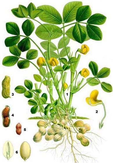 Арахис (лат. Arachis) —цветковое растение семейства бобовых
