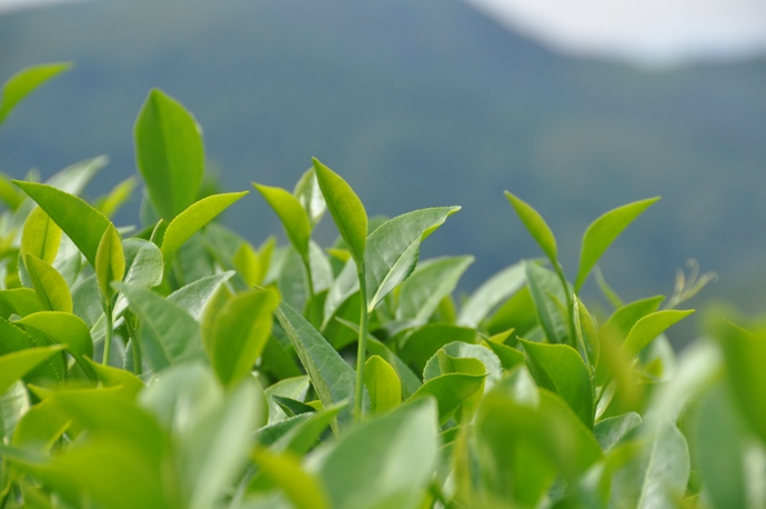 china-tea39
