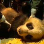 спасенная панда