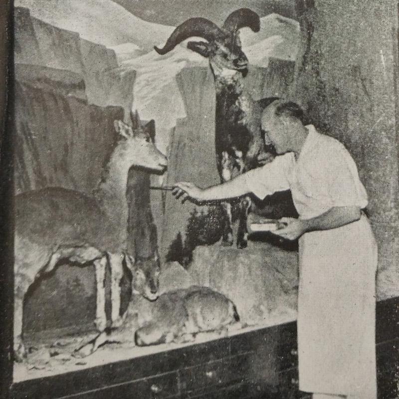 Бессменный директор Артур Сауэрби за установкой витрины в музее. Источник: China's Natural History-A Guide to RAS Museum (1936)