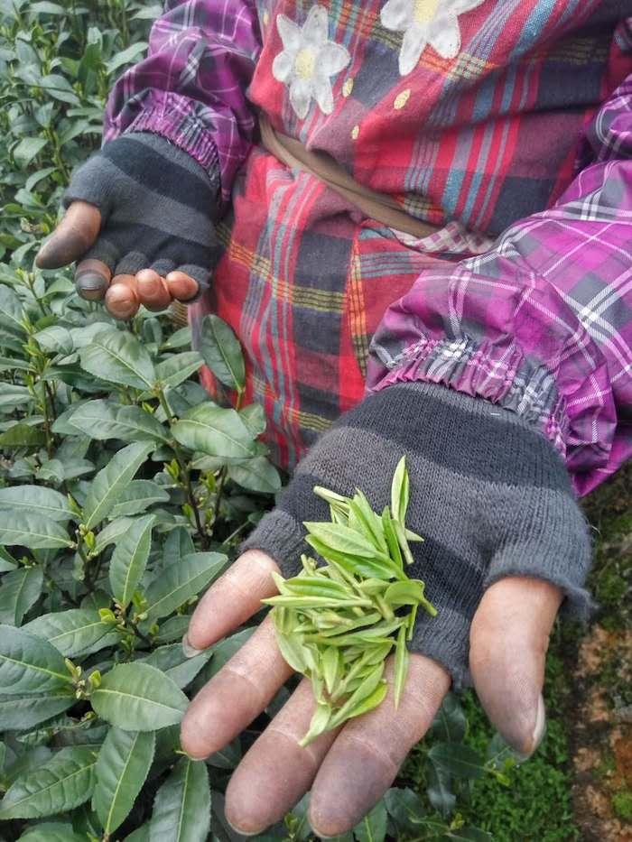 Первый этап изготовления чая - его сбор. Фото автора