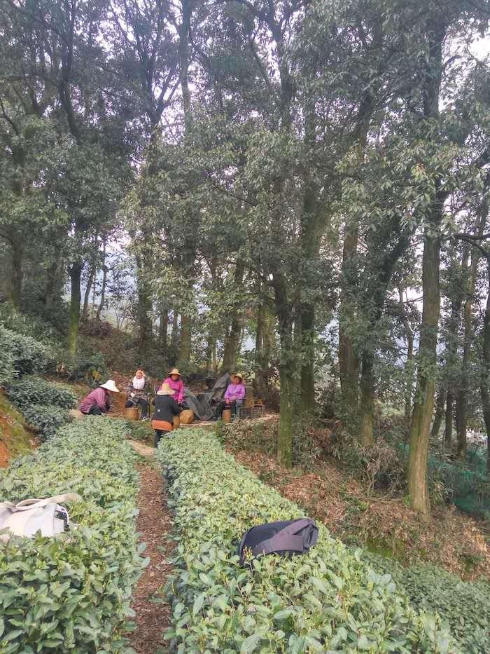 Сборщика чая даже не надеются попробовать собранный ими урожай. Фото автора